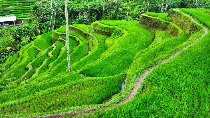 The beautiful Tegalalang Rice Terrace. BALI Travel Diary