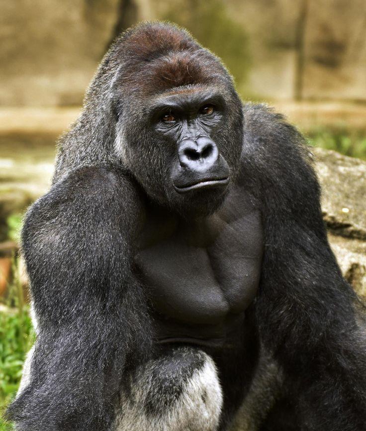 Cuando un gorila de 181 kilogramos (400 libras) de peso agarró a un niño de tres años en el zoológico de Cincinnati, el tirador especializado que mató al simio no era de la policía. Es un miembro especialmente adiestrado del personal del zoológico y pertenecía a uno de los muchos equipos destacados para