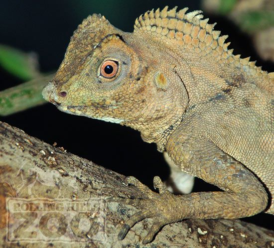 Meet Hiccup, Our Chameleon Forest Dragon, In The Reptile