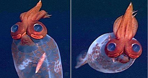 ¿Un calamar que parece un loro con gafas? Taonius borealis  Este extraño y casi desconocido animal, apenas hay fotografías, habita en la profundidad del océano.   El ejemplar de las imágenes fue observado en el noroeste del Océano Pacífico a una profundidad de 1.400 metros. Tiene una longitud de aproximadamente medio metro.   Los desproporcionados de  ojos Taonius borealis son una adaptación a las profundidades. Están dotados de fotóforos, órganos que emiten luz.
