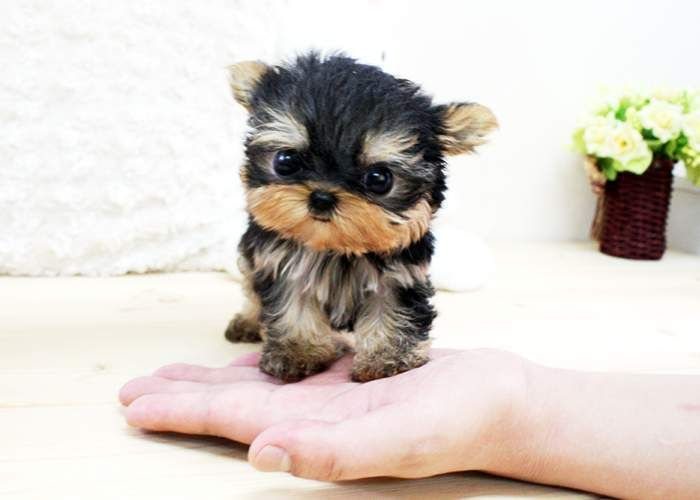 Baby Teacup Yorkies | Baby White Yorkies Party black/white yorkie