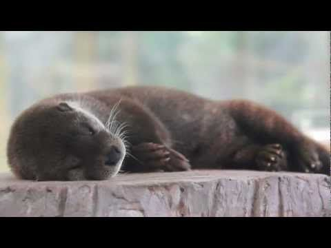 Otter's whiskers and paws twitch during a nap - August 15, 2012