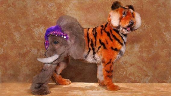 Dans l'univers fascinant des concours de tonte canine, il existe une compétition qui les surpasse toutes, celle de Hershey en Pennsylvanie. Ici, on coiffe, on sculpte et on colore les chiens pour en faire des tableaux vivants. Avec son caniche vedette Dobby, la championne britannique Su Eld-Weaver tente sa chance du côté américain dans ce monde ultracompétitif de la tonte créative extrême.