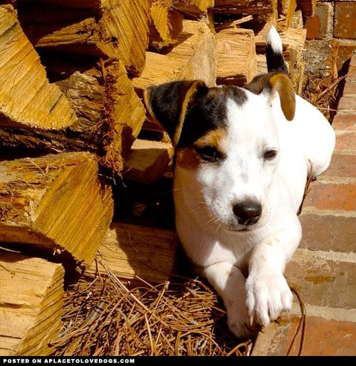 aplacetolovedogs:  Cute Jack Russell Isis taking a moment out of her busy day of playing to reflect Via @hexxxe_6 For more cute dogs and puppies