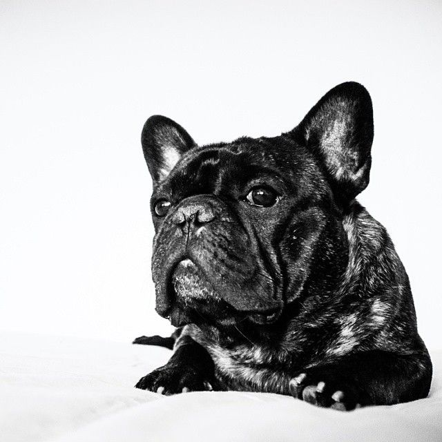 'When time stands still I will always be there', French Bulldog Pledge of Loyalty.