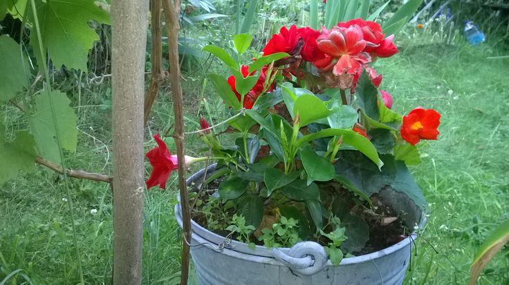 Sundevilia i begonia