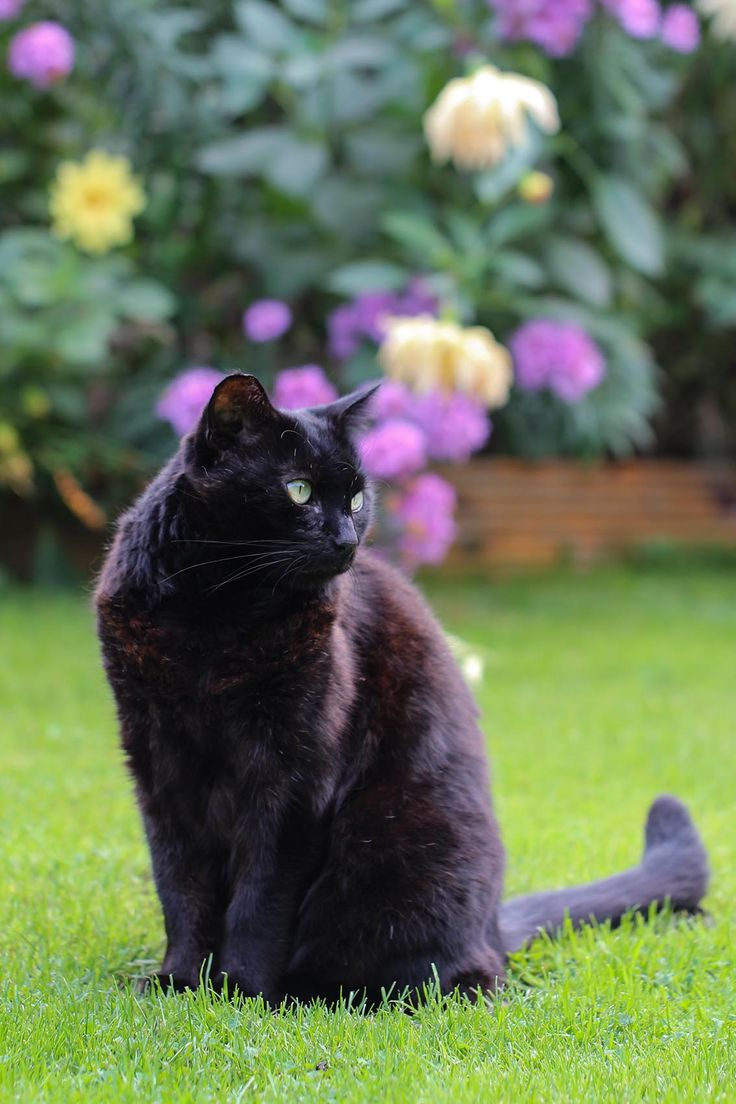 """boschintegral: """" Happy National Black Cat Day! from Blackberry by Ella on Flickr. """""""