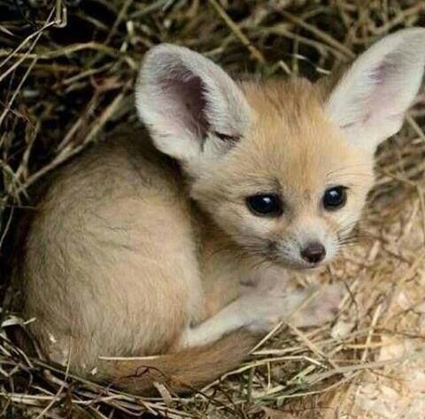 Baby Fennec fox /  (@Kam11Bbc) on Twitter                                                                                                                                                      More