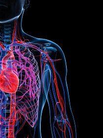 El sistema circulatorio o cardiovascular tiene una extensión de  unos 100.000 km de vasos sanguíneos.