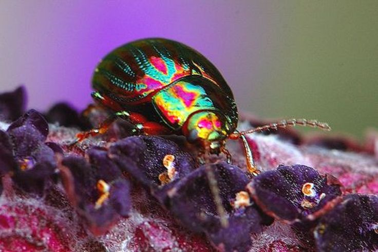 Rainbow Leaf Beetle | by OurBreathingPlanet