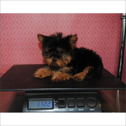 Teacup Puppies Store yorkie  puppies for sale teacup puppies store www.TeacupPuppiesStore.com  visit teacup puppies store to see beautiful teacup and toy Yorkie  puppies and dogs for sale  Teacup Puppies Store 954-353-7864 #yorkie#teacup yorkie#toy yorkie#teacup puppies store#teacup#puppies#store#www.teacupPuppieStore.com