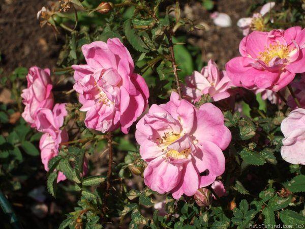 'Carnea plena ' Rose Photo