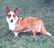 Farm Dog Breeds - The Cardigan Welsh Corgi dog breed is used on the farm in cattle herding and has a protective and devoted nature.