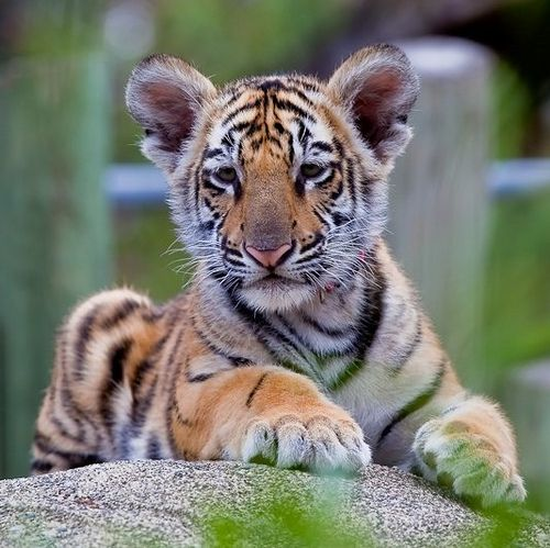 Bengal Tiger Habitat | Bengal Tiger: The beautiful big cat of South Asia | The Lovely Planet