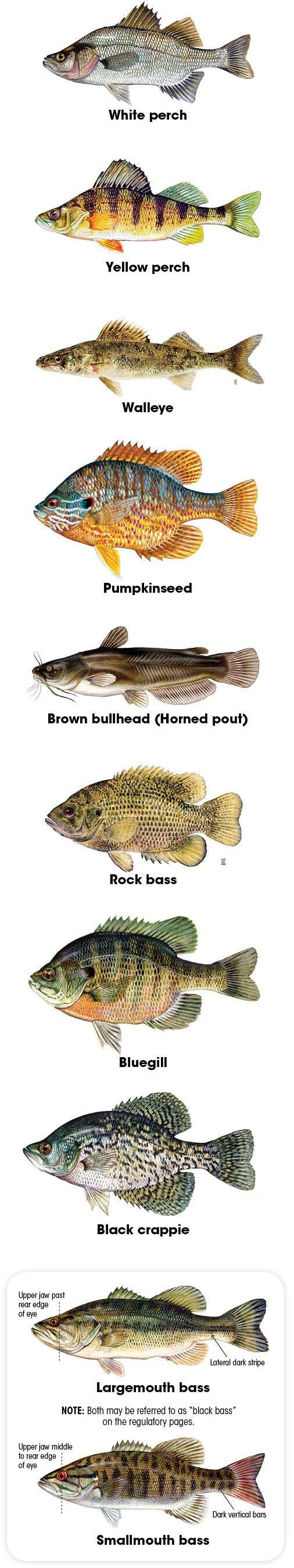 Nh Freshwater Fish Identification Fishing Pinterest