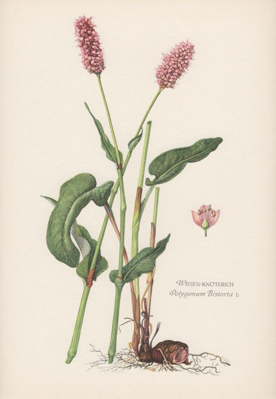Vintage Botanical Print Polygonum Persicaria by AntiquePrintGarden