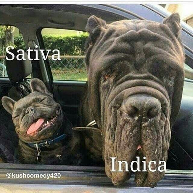 Which dog are you, indica or sativa?