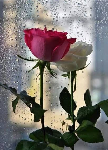비오는 수요일엔 빨간 장미를  On a rainy Wednesday red rose una rosa roja en un miércoles lluvioso