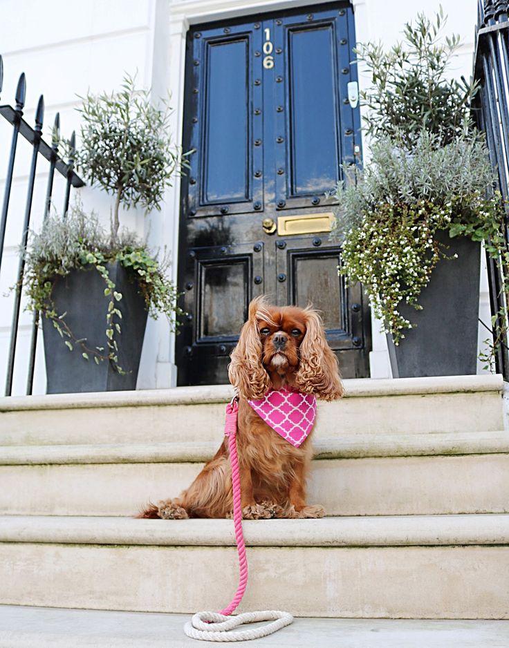 cavalier king charles spaniel wearing herky the cavalier outside house in london