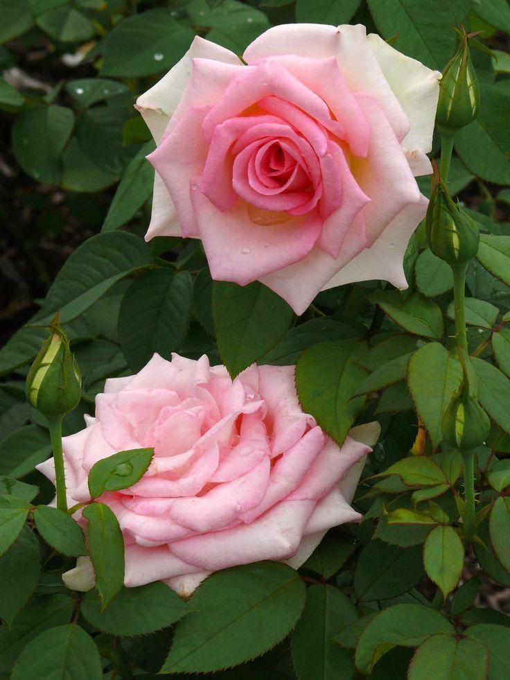 'Falling in Love'   Hybrid Tea Rose. Tom Carruth, 2006   Flickr - © Sharon Rhinehart (photoop23)