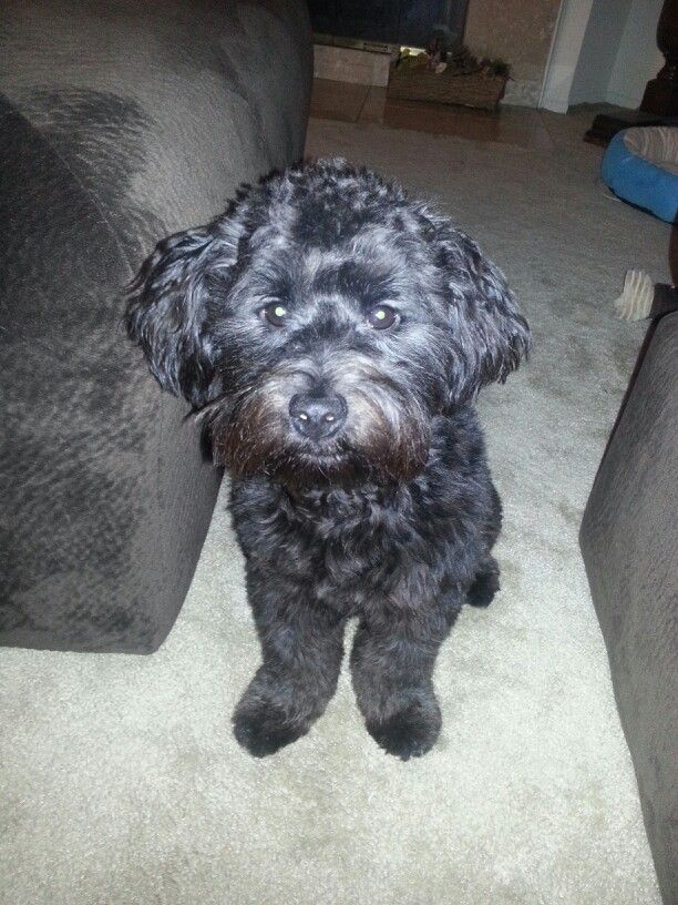 Our Terripoo (border terrier mini poodle) 1 year old, 15 ...