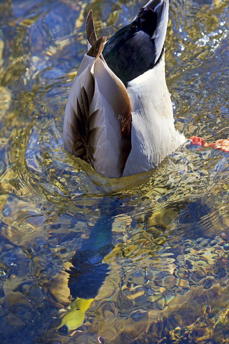 251 best Duck Hunting images on Pinterest | Ducks, Beautiful ...
