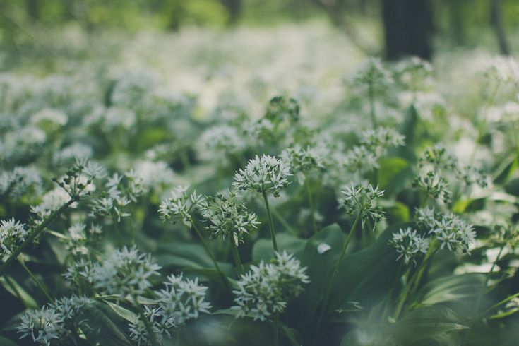 Wild garlic is a healthy herb! Read more about its season, cultivation, benefits… #wildgarlic #ramsons #woodgarlic #nature #woods #forest #green #herbs