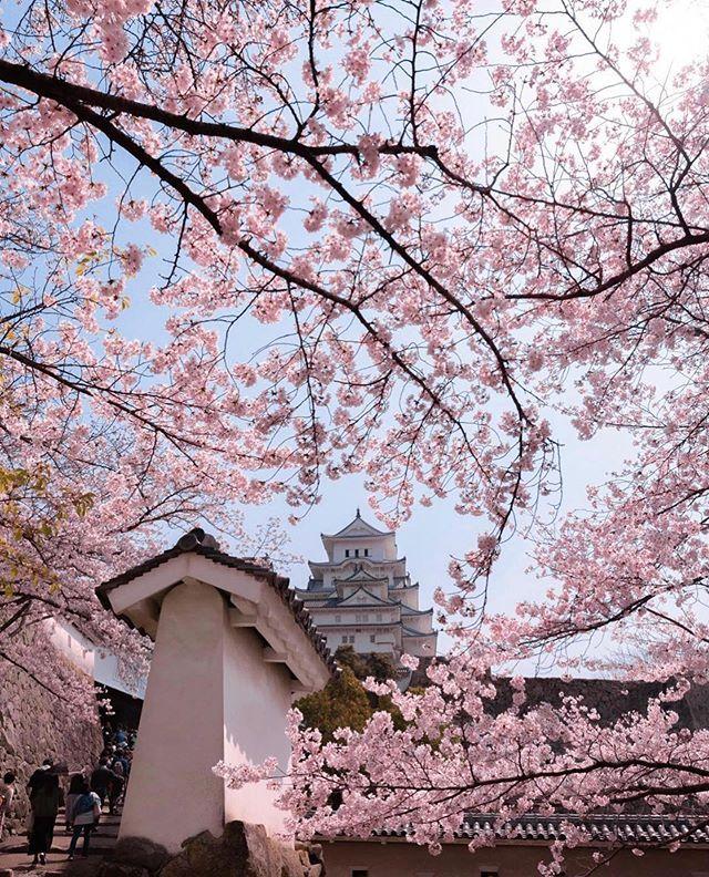 Picture Perfect Osaka Whos Heading To Japan For Cherry Blossom Season Kazumma527 Cherry Blossom Season Cherry Blossom Pictures