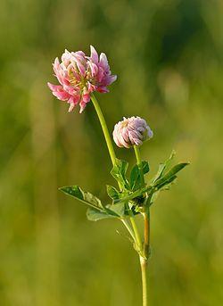 Alsikeklöver - Trifolium hybridum - roosa (rootsi) ristik.jpg