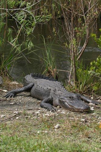 Alligator, Shark Valley section of  Everglades National Park, Florida.  Photo: SNOWFactory.com via Flickr