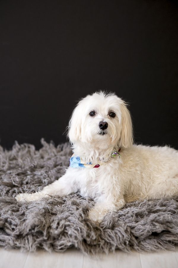 Happy Tails Rudy The Maltese Havanese Mix Daily Dog Tag