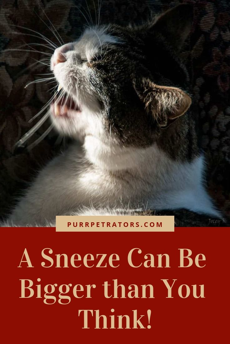 A Sneeze Can Be Bigger Than You Think Cat Sneezing Cat Sneezing Remedies Cat Remedies