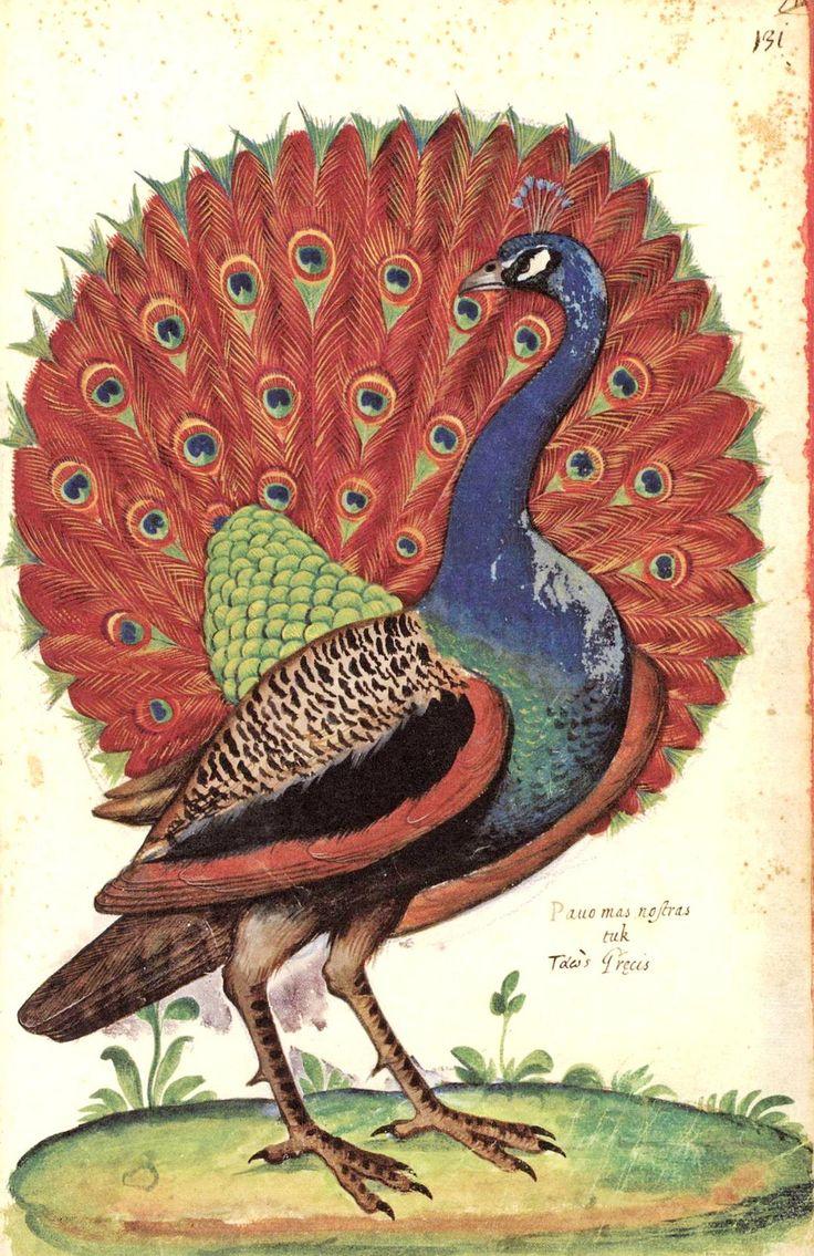 "https://flic.kr/p/cKPm2h | Pavone - Peacock | Da ""Natura Picta""  di Ulisse Aldrovandi (1522-1605)"