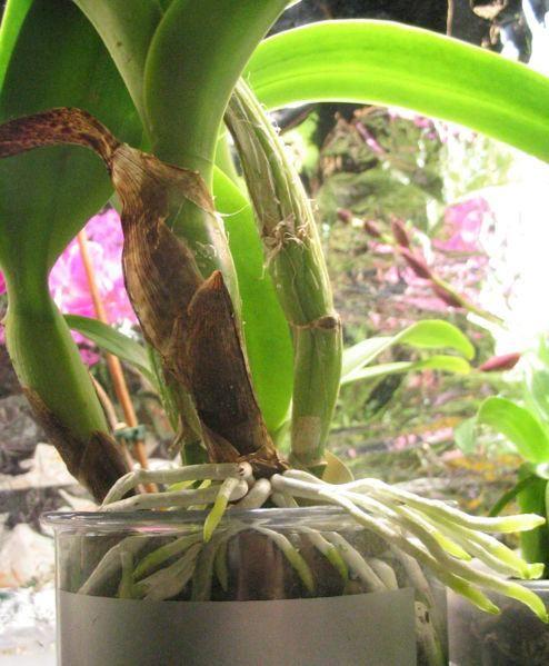 Multiplicar as próprias orquídeas é o desejo de todo jardineiro aplicado. Elas crescem devagar e é muito difícil multiplicá-las por sementes, o que torna a