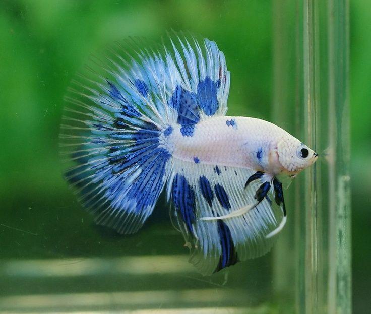 Conoce la belleza y la fuerza del pez betta o beta 64 for Betta fish together