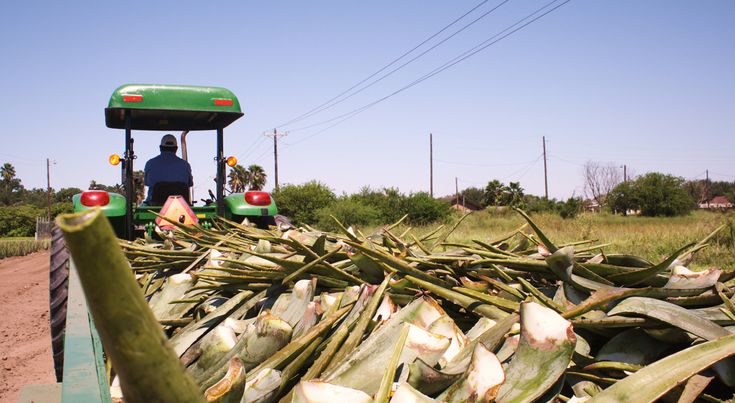 Our Plantation, Texas Transporting Aloe