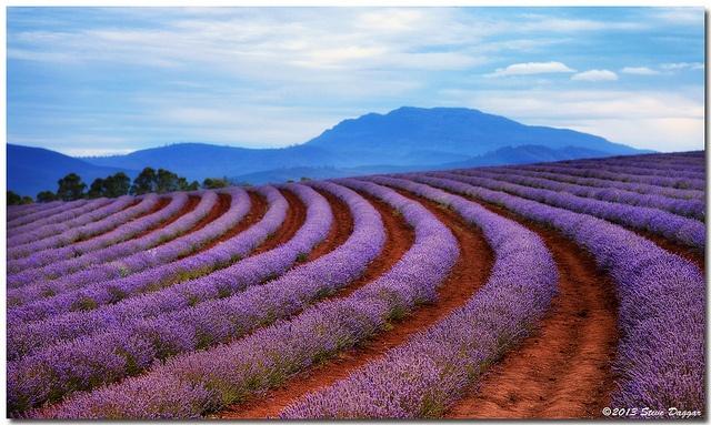 Bridstowe Lavender Farm, Tasmania