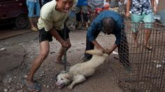 Yulin Dogmeat Festival in China. This must stop!!! Look up Marc Ching who is trying to stop this insane and cruel festival!!