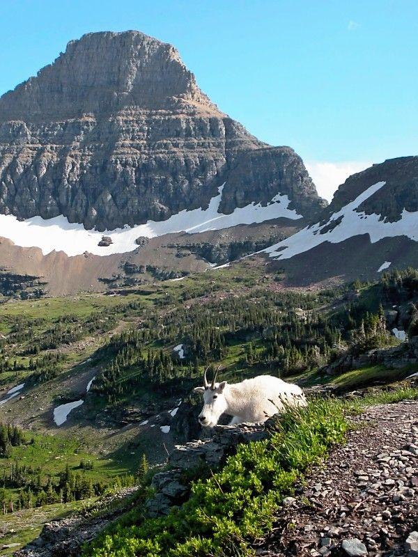 Fuck this! goat lick at glacier national park Video