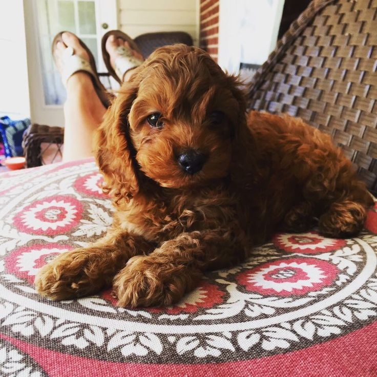 Red Cockapoo Puppy ❤️❤️❤️