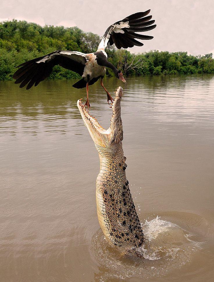 Darwin Northern Territory Saltwater Crocodile by Franco Mottironi on 500px