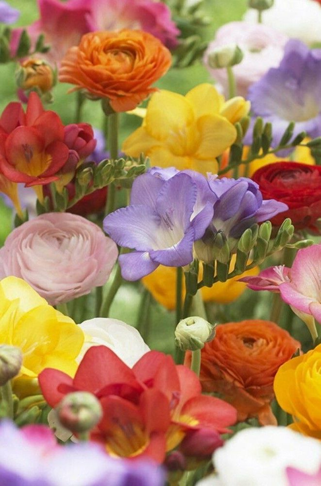 Van Zyverden Spring Grand Freesia And Ranunculus Blend Spring Plants Bulb Flowers Ranunculus
