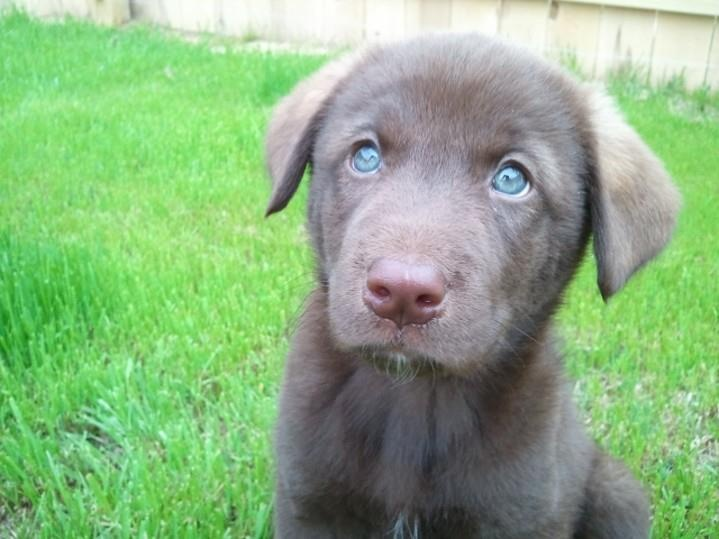 chocolate lab husky mix - photo #12