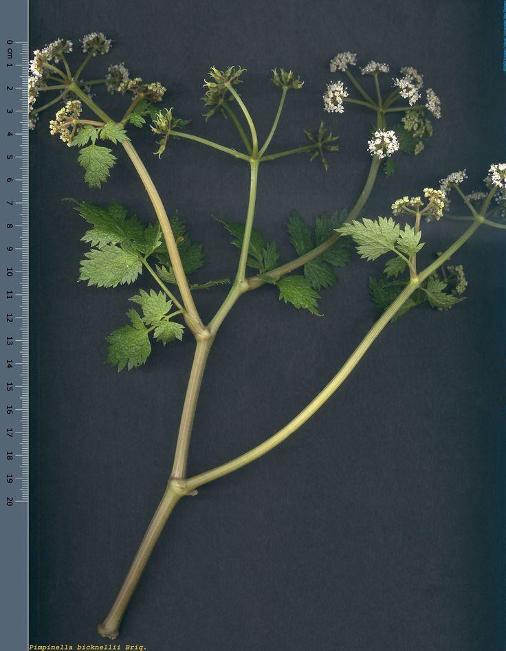 Pimpinella bicknellii.  Planta herbàcia però amb una soca a la base molt ramificada amb branques de color verd glauc i fulles lineals oposades de fins a 4 cm de llarg. Fa una inflorescència molt laxa amb flors blanques o tacades de rosa. Es tracta d'un endemisme d'Eivissa i Formentera, que viu a escletxes de roques. Floració al final de la primavera.