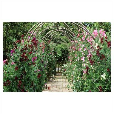 lathyrus odoratus the sweet pea tunnel at perch hill. Black Bedroom Furniture Sets. Home Design Ideas