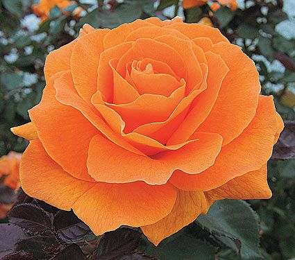 Best 20 roses ideas on pinterest yellow roses rose for The meaning of orange roses