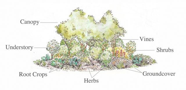 food forest, growing food, great food, natural food, open source food, One Community food, Canopy, Understory, Vines, Shrubs, Herbs, Groundc...
