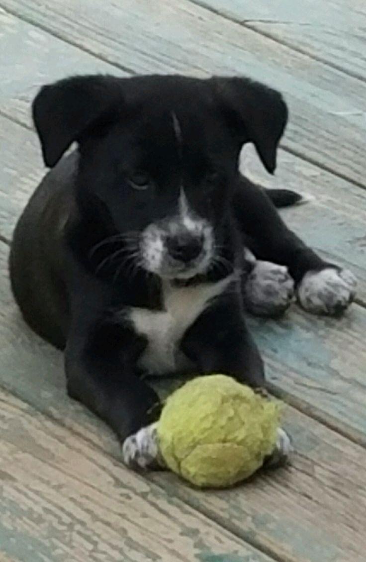 Borador dog for Adoption in Churchville, NY. ADN566077 on
