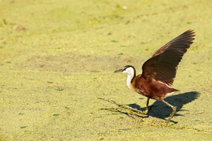 An African Jacana sprints across the algae stained water of Camp Pan. They have incredibly long toes and large feet, which enable them to run on vegetation and give them the nickname of 'the Jesus bird' or 'lily trotter'.  Photograph by Amy Attenborough