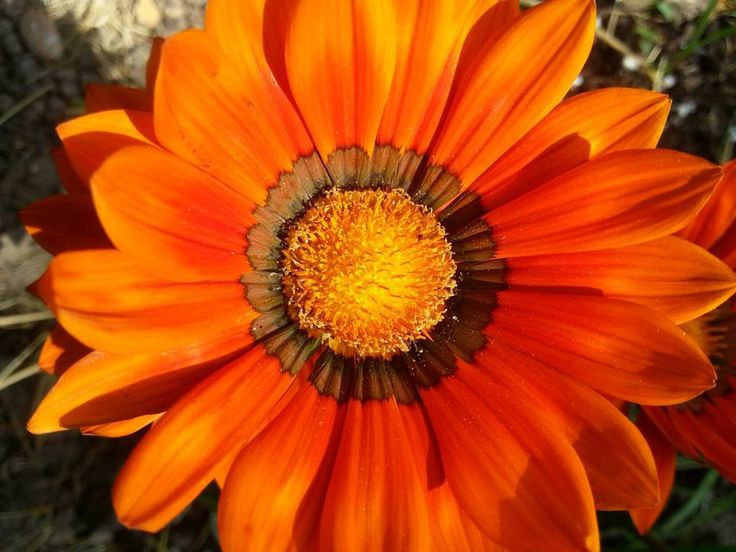 Sarah Ravens beautiful Tithonia rotundiflora 'Torch' attract the bees and butterflies with its glowing orange colour